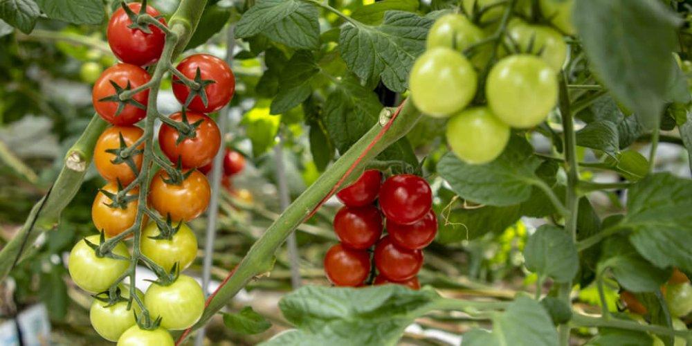 Na návšteve v paradajkom skleníku Farmy Babindol